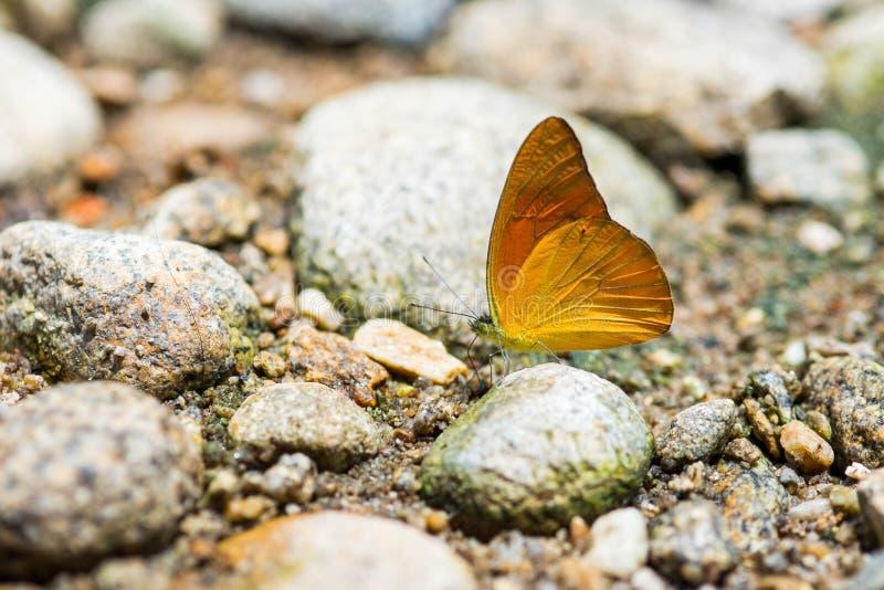 Чайка имени бабочки оранжевая: Iudith Cepora (белянка Familly) стоковые изображения