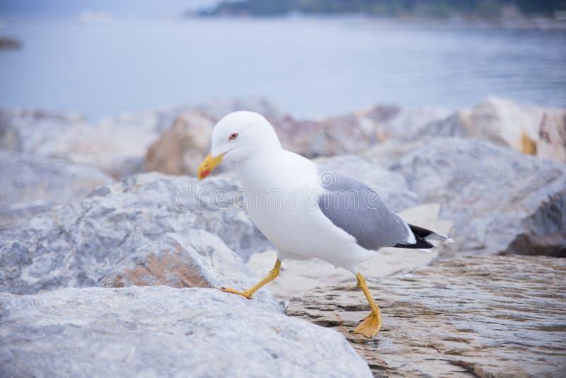 Чайка идя на камень стоковая фотография rf