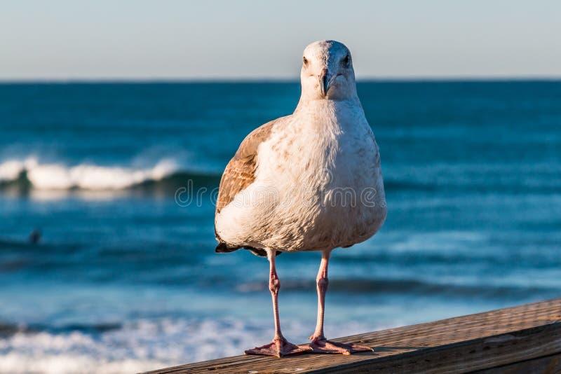 Чайка Калифорнии стоит на береге океана, пристани рыбной ловли Калифорнии стоковая фотография