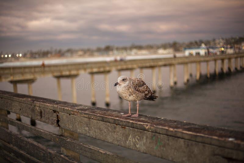 Чайка Калифорнии в Сан-Диего на пляже стоковое фото rf