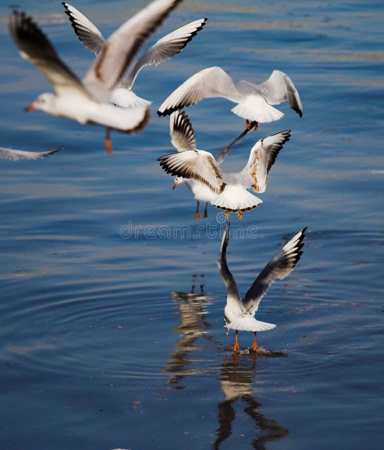 чайка летания стаи стоковая фотография