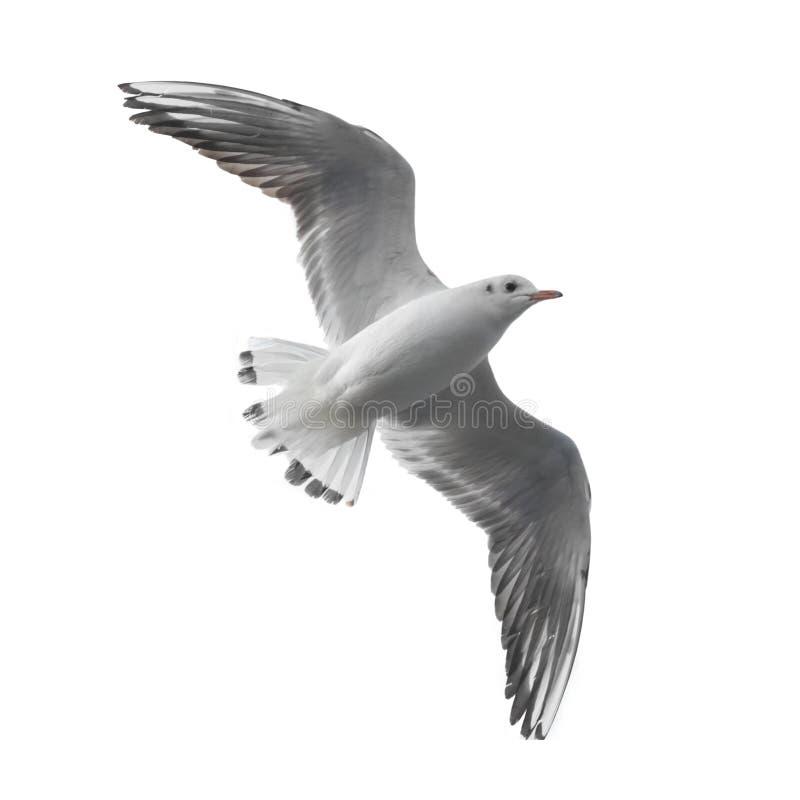 чайка летания стоковое фото