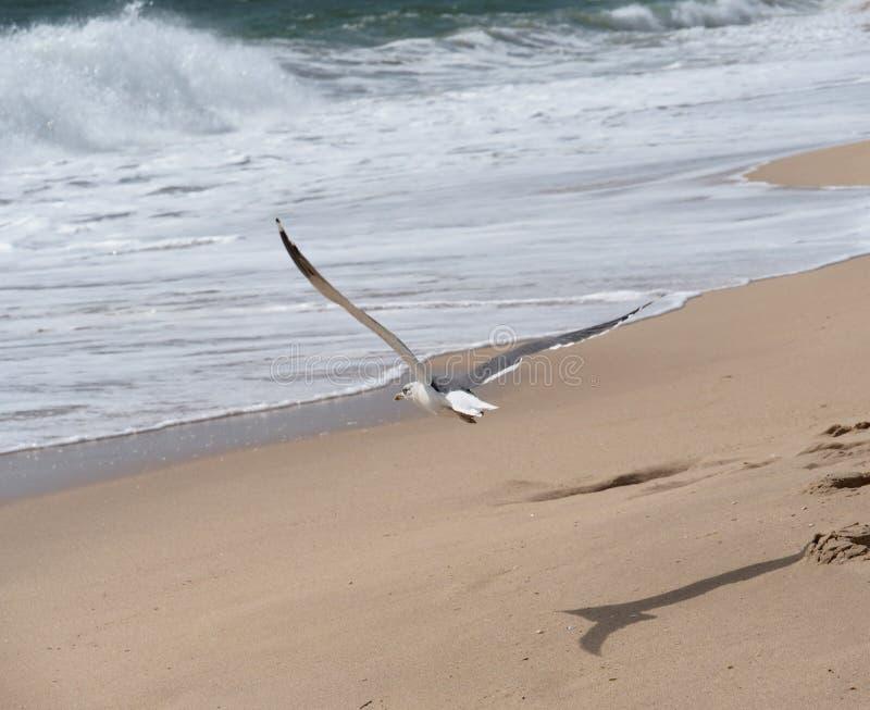 Чайка летая над пляжем на Ilha De Tavira Португалии стоковое фото rf