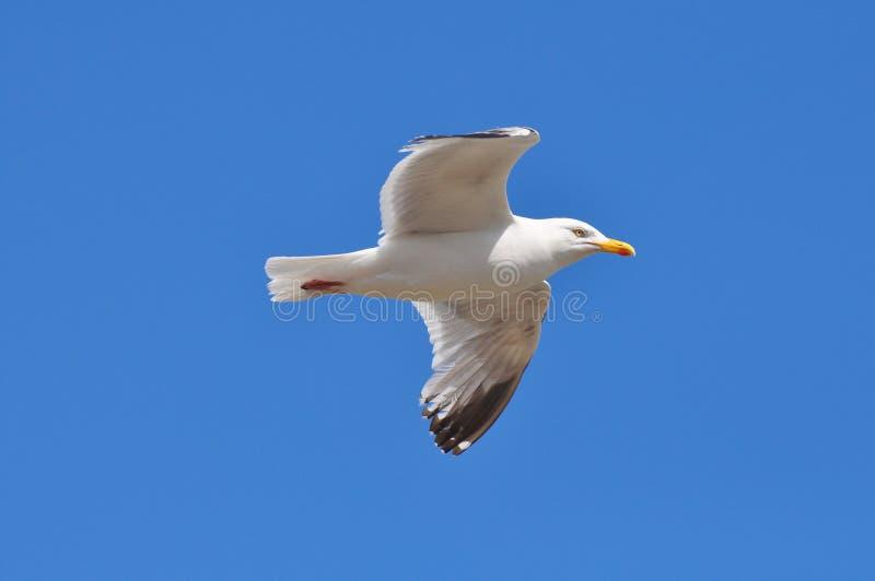 чайка летая стоковая фотография