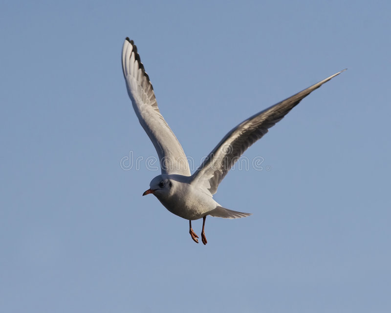 чайка летая стоковая фотография rf