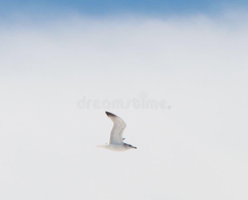 Чайка моря в полете стоковая фотография