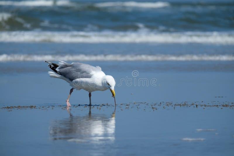 Чайка моря есть закуску на пляже стоковые фотографии rf