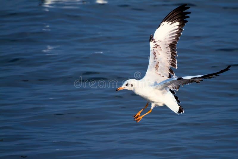 Чайка моря летания стоковая фотография rf