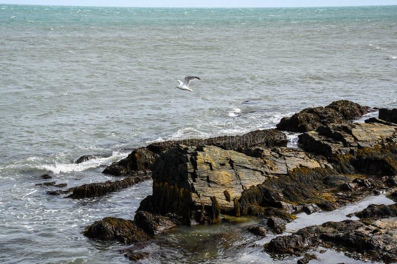 Чайка моря летая над скалистым побережьем Род-Айленда стоковые фотографии rf