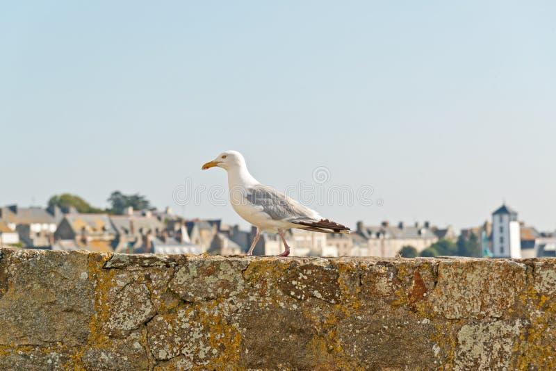 Чайка моря стоя на старой стене города Святого Malo brittani стоковое изображение rf