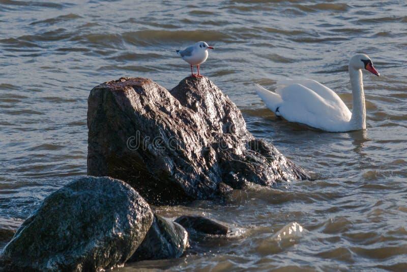 Чайка наблюдает заплыванием лебедя мимо стоковые фото