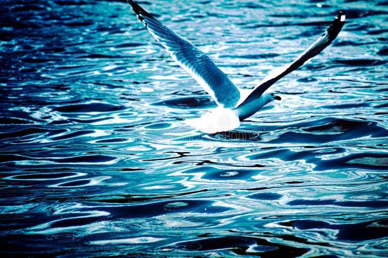 Чайка над озером стоковое изображение