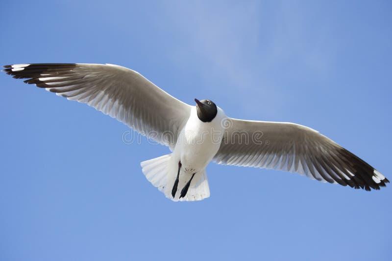 Чайка на голубом небе стоковое фото rf