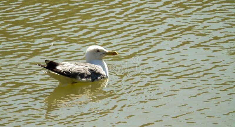 Чайка на зеленой воде озера, профиль плавания птицы, предпосылки дикого животного стоковое фото