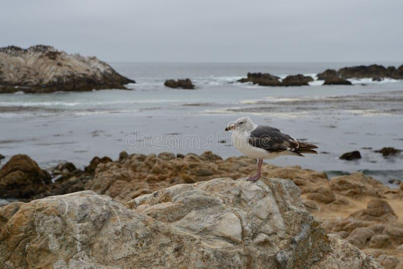 Чайка на каменном конце вверх стоковое изображение