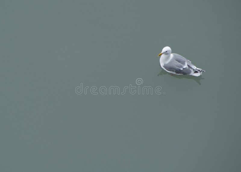 Download Чайка на ровной воде стоковое фото. изображение насчитывающей заплывание - 41657686