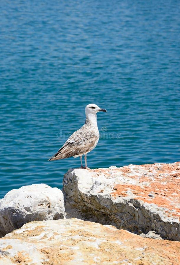 Чайка на утесе, Португалия стоковые изображения rf