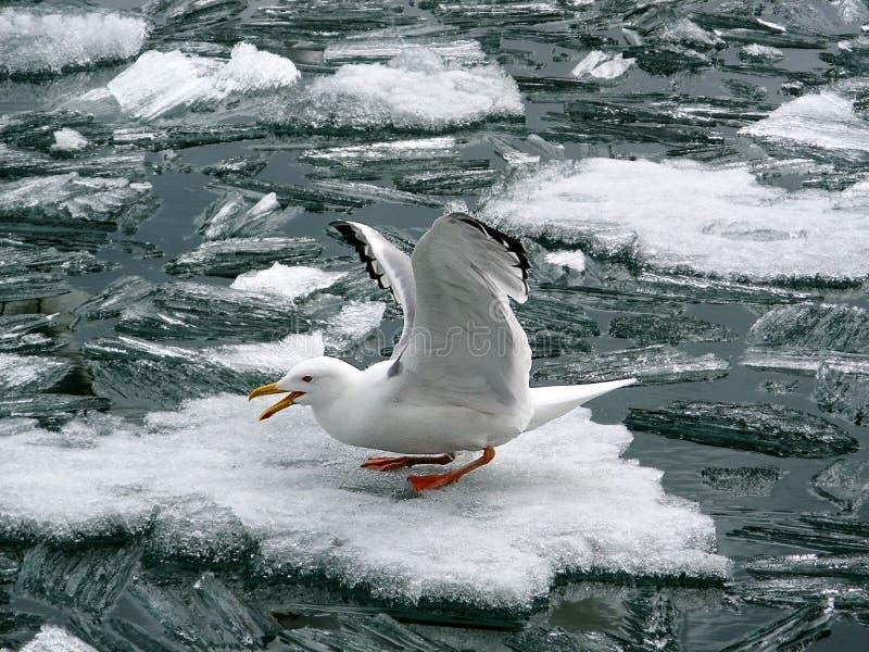 Чайка на часах блока льда стоковое фото rf