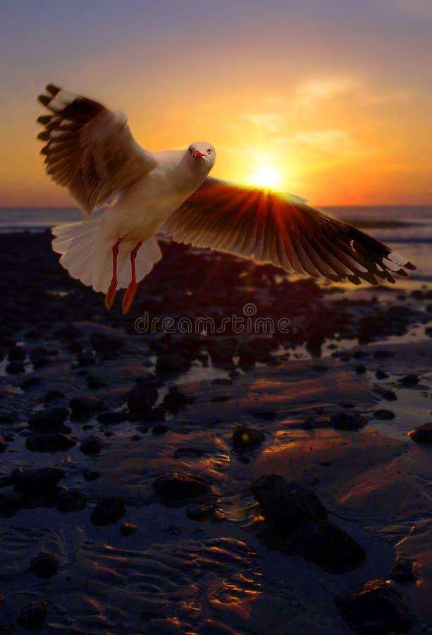 Чайка на черном каменном пляже стоковое изображение