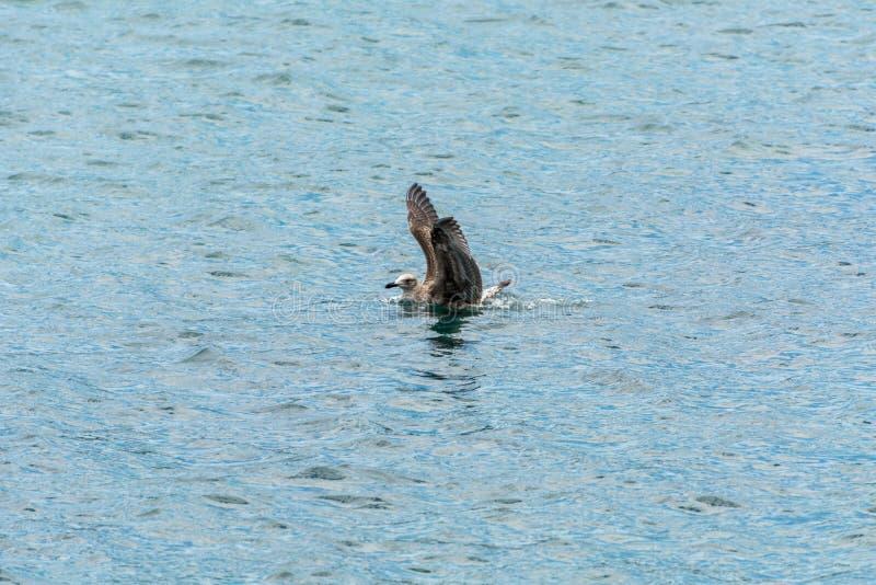 Чайка плавая на воду на Pantano делает Sul, в Florianopolis, Бразилия стоковые фото