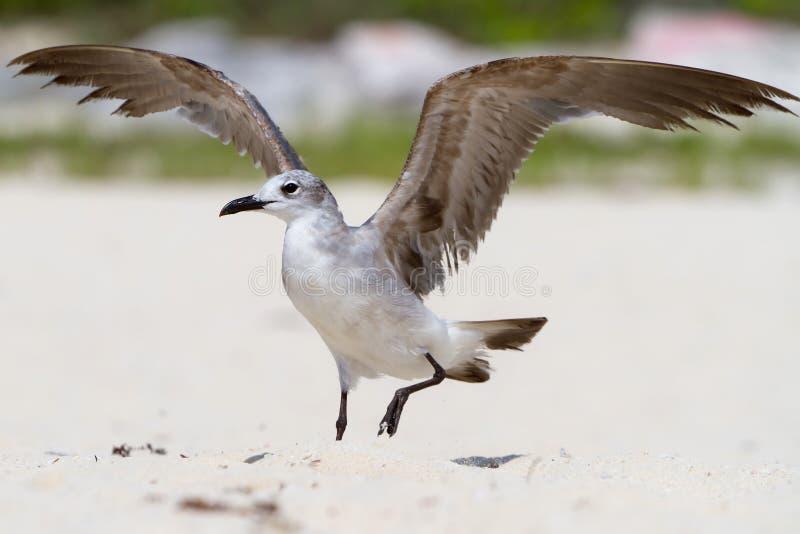 чайка пляжа стоковая фотография rf