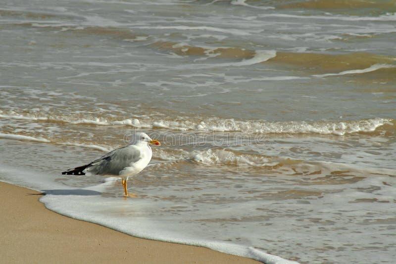 чайка пляжа стоковая фотография