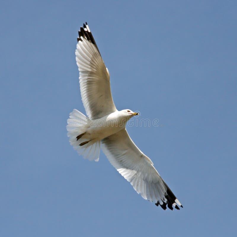 чайка полета стоковая фотография rf