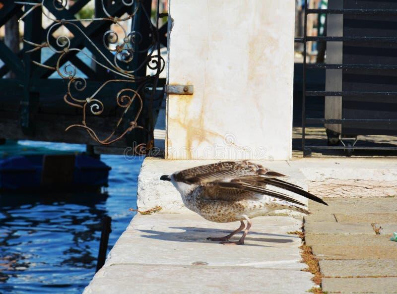 Чайка подготавливает к налёт над водой стоковая фотография rf