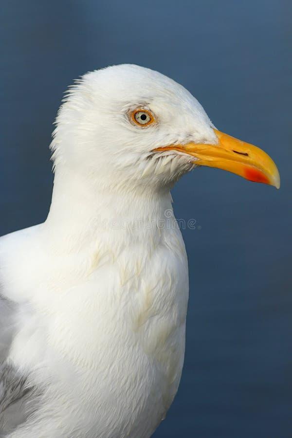 чайка профиля стоковое фото