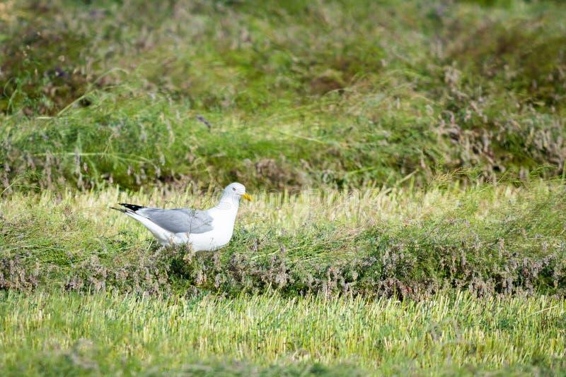 Чайка степи прикаспийская, cachinnans Larus на поле стоковое изображение