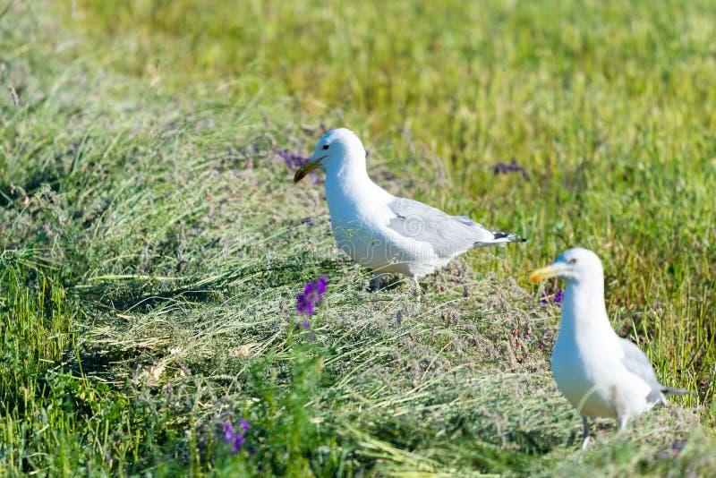 Чайка степи прикаспийская, cachinnans Larus на поле стоковые фото