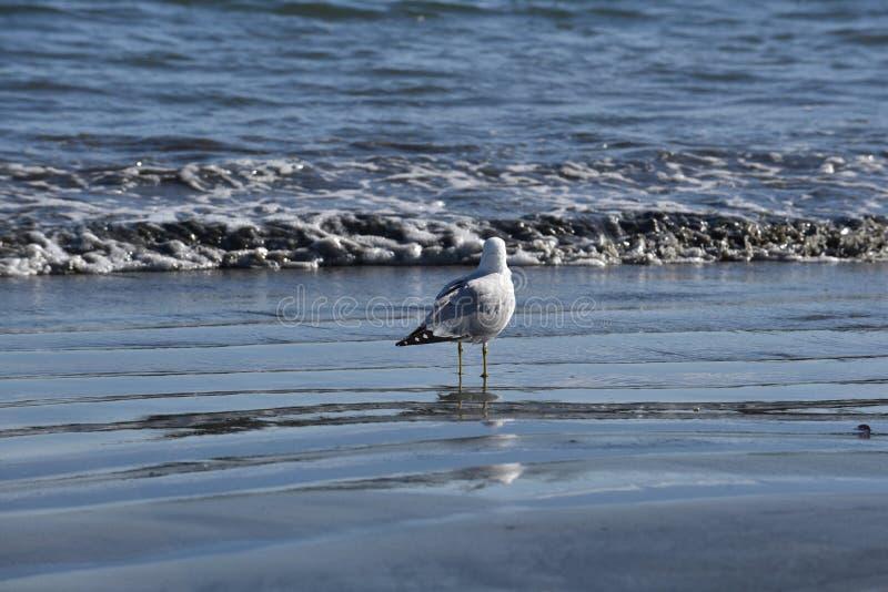 Чайка стоит перед загрязнятьой водой океана стоковые фото
