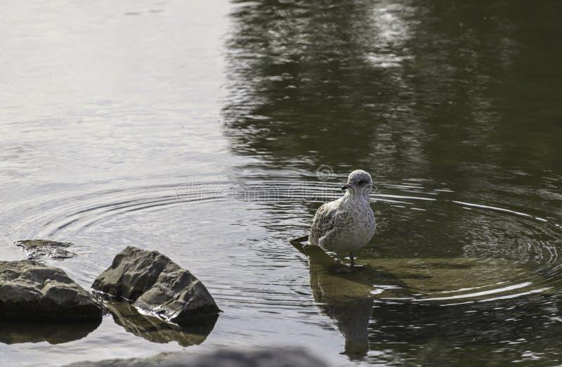 Чайка стоя в речной воде смычка стоковое фото rf