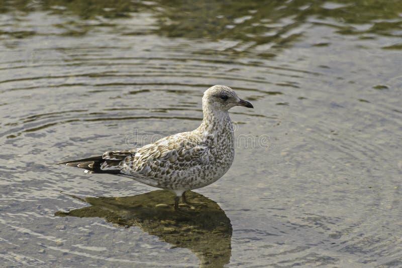 Чайка стоя на реке смычка стоковая фотография