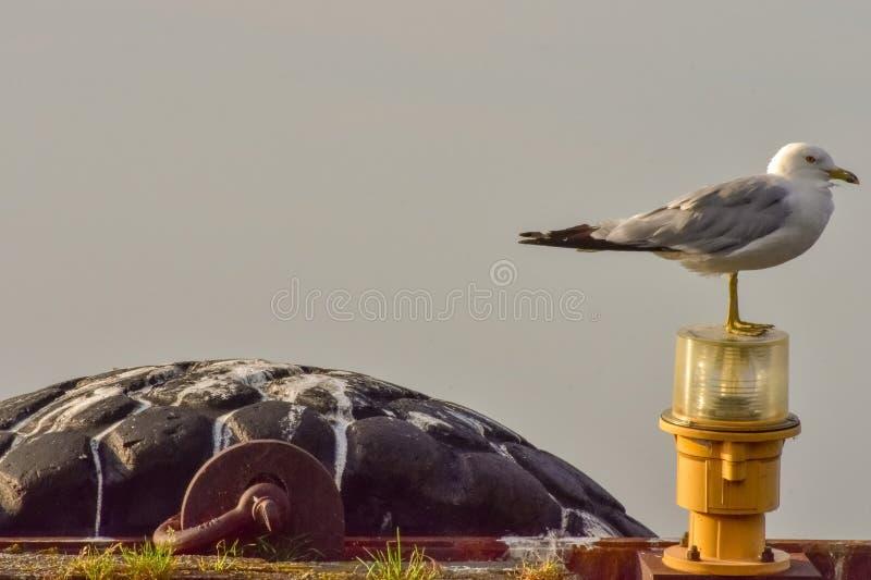 Чайка стоя на свете пристани стоковая фотография