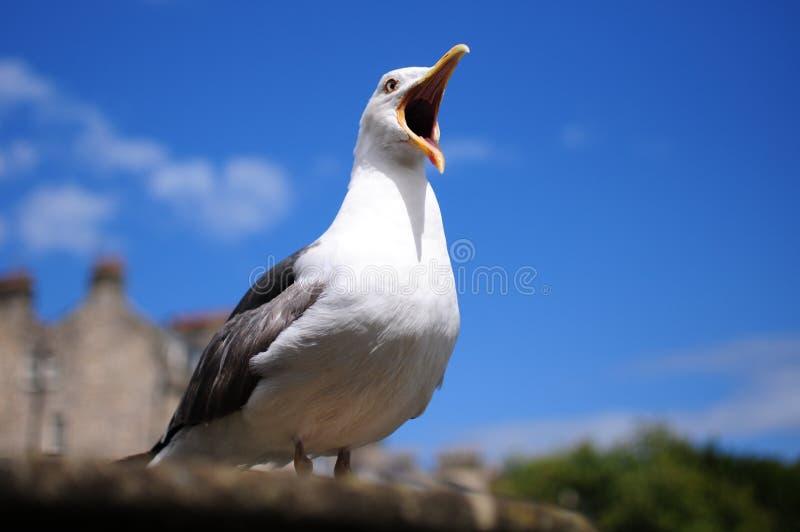 Чайка с клювом открытым стоковая фотография
