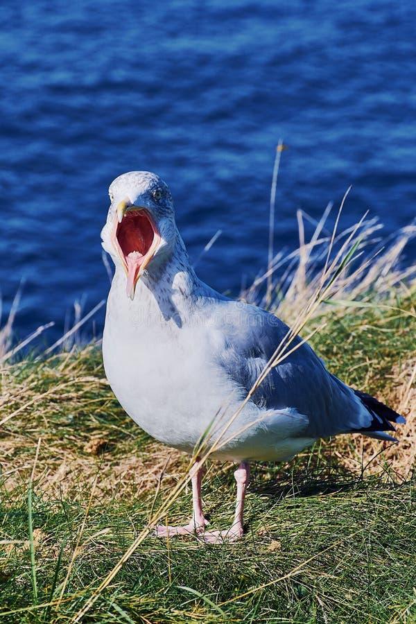 чайка с открытым клювом в Корнуолле стоковая фотография