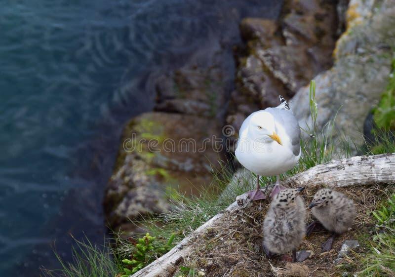 Чайка с 2 цыпленоками чайки младенца стоковые изображения