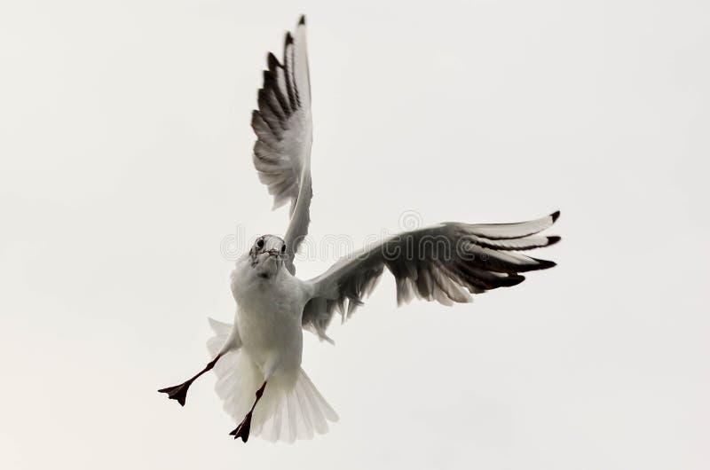чайка 3 стоковое изображение rf