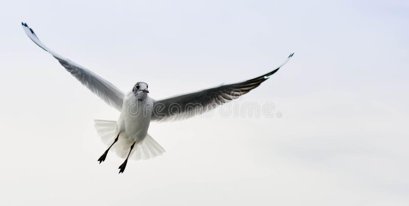 Чайка 2 стоковое фото