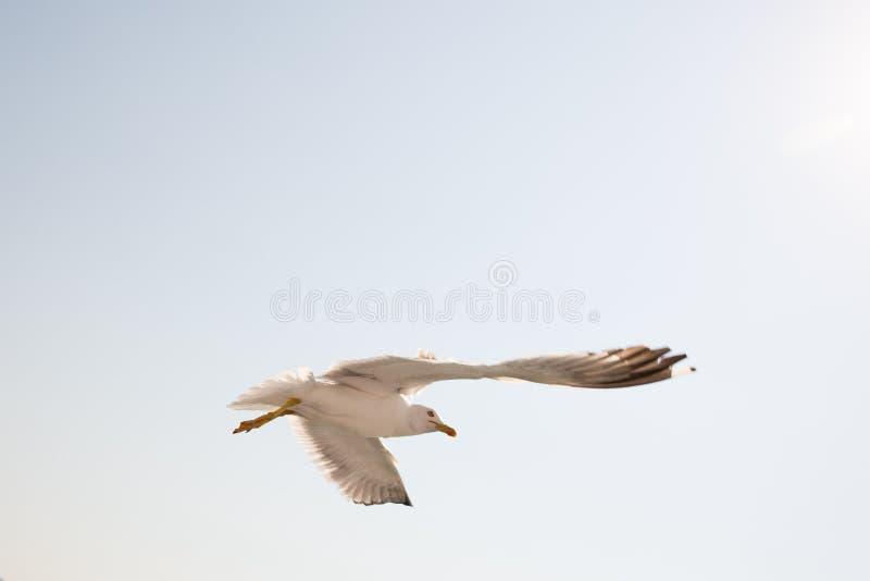 чайка 3 стоковая фотография rf
