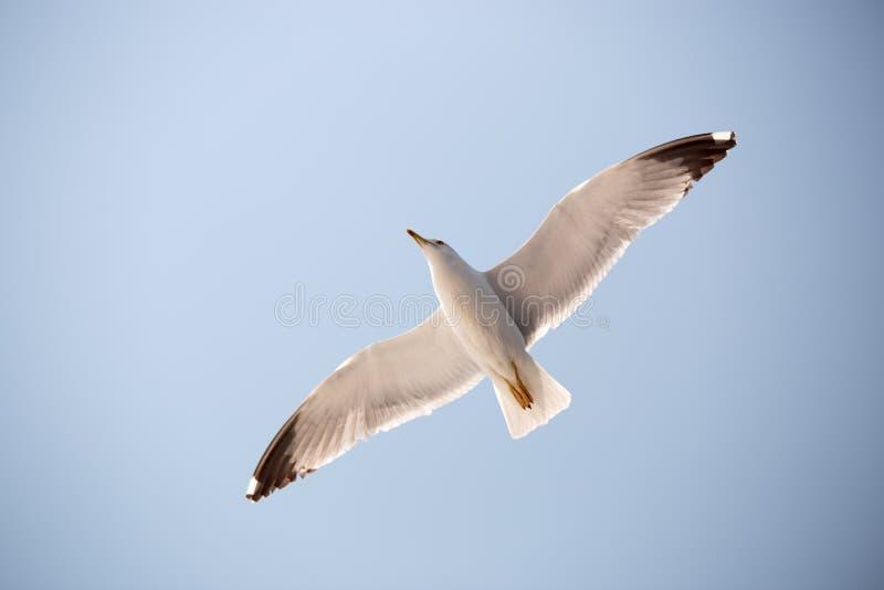 Чайка 16 стоковое изображение