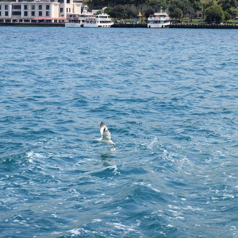 Чайка Bosphorus стоковое фото rf