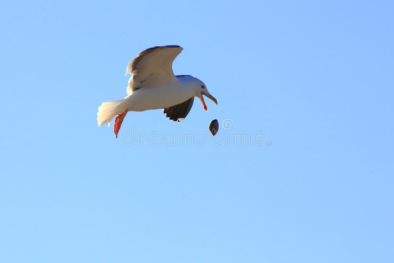 чайка ii стоковое изображение rf