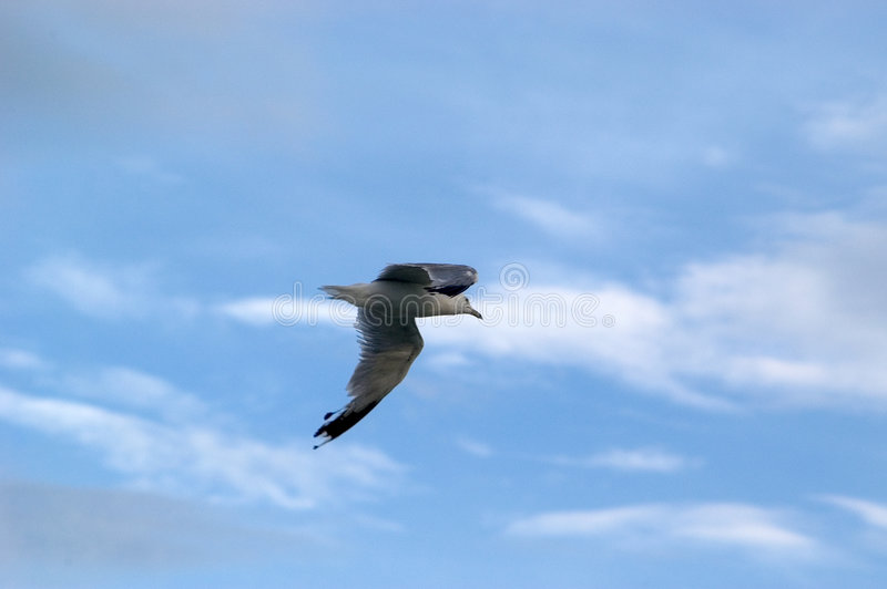 чайка s полета стоковое изображение