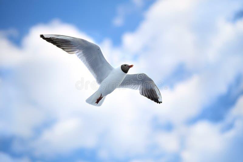 Чайки белого моря летая в голубое солнечное небо стоковые изображения rf