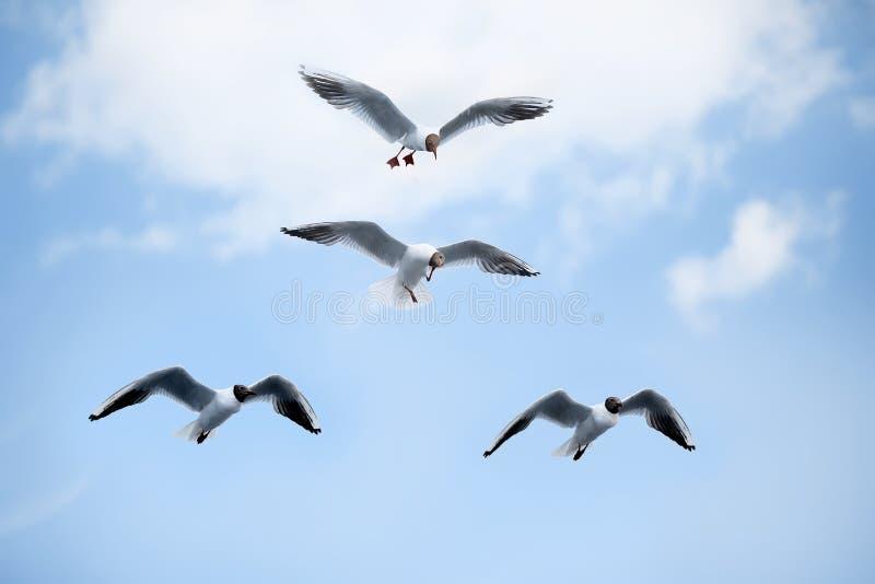 Чайки белого моря летая в голубое солнечное небо стоковое фото rf