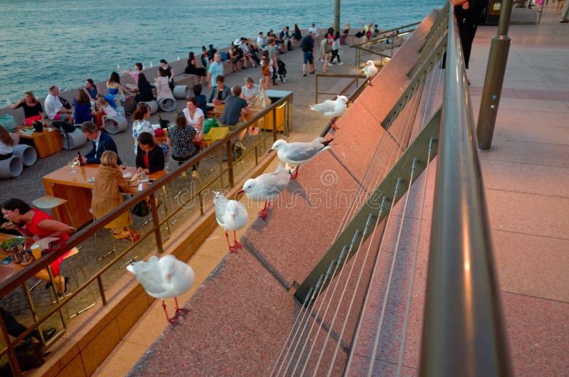 Чайки вне оперного театра Сиднея на сумраке стоковые фото