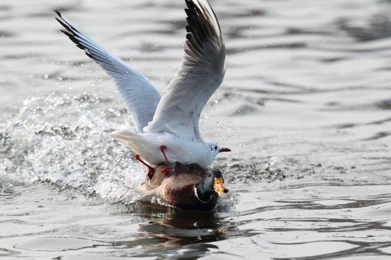 Чайки воюя для еды с уткой mal кряквы стоковое фото