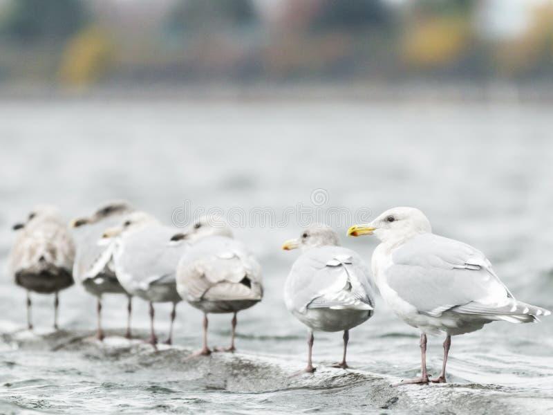 Чайки вытаращить в расстоянии стоковое изображение